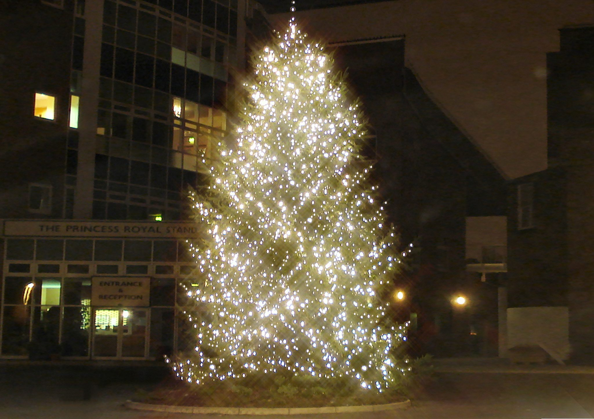 Giant large fresh Christmas tree in London